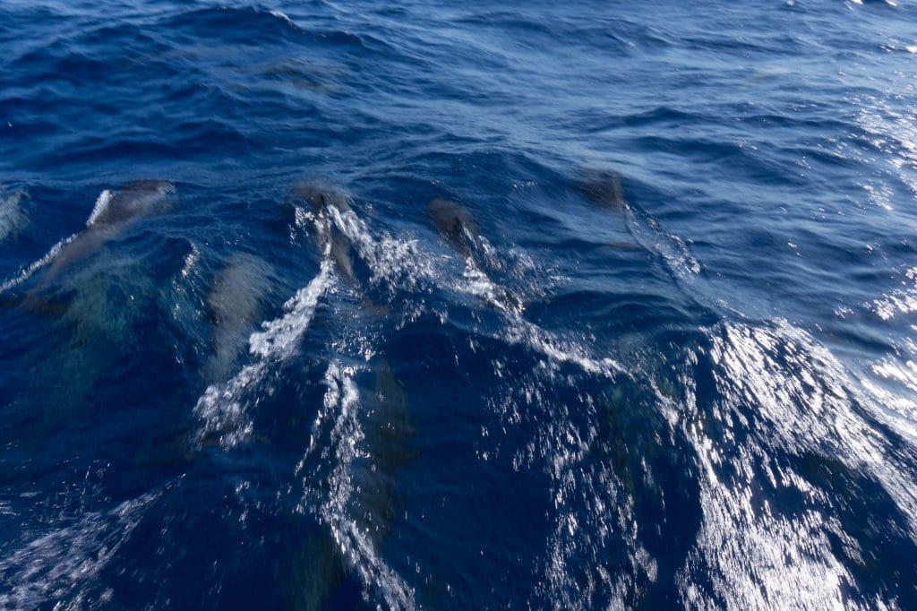 Dolfijnen zeilboot tussen Tenerife en Barbados.